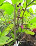bean plants in bloom