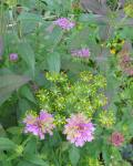 bee balm (or bergamot, used in Earl Grey tea) & dill flowers