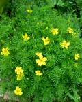 Citrus Marigold