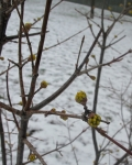 Cornelian Cherry blooms