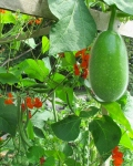 Fuzzy Melon and Scarlet Runner Beans