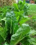 chard plants
