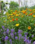 Lavender & Calendula  flowers