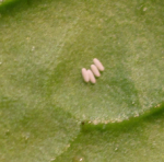 leaf miner on spinach