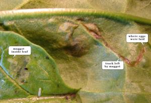 leaf miner larvae
