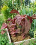 young red amaranth plants in garden bed