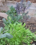 mizuna (asian mustard) and two types of kale