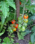 cherry tomato plants in garden bed