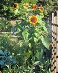 Woodgreen's Sunflowers (Sept. 3, 2014)