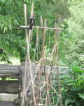 pileated woodpecker foraging for insects on garden stakes