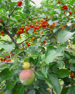 apples and sour cherries on the tree