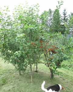 apple and cherry trees planted in tight groups of four