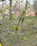 Cornelian Cherry buds opening