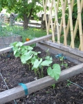 young bean plants in garden bed