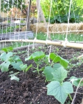 young cucumber plants in garden bed