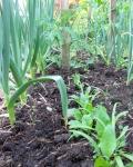 Garlic, spinach & tomato in garden bed
