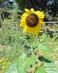 large sunflower in garden bed