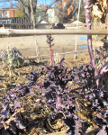 rainbow kale in garden bed, over-wintered from previous season