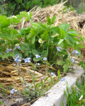 Forget-me-not and Alpine strawberry in garden bed