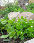 wild ginger and sweet woodruff in front of stones