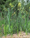 young garlic and flowering mustard plants in garden bed