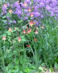 wild columbine and phlox flowers in garden bed
